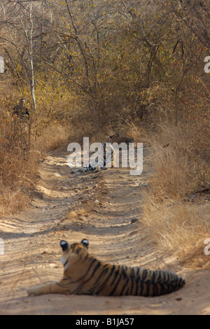 Machali Tigress Family on the forest track at Ranthambhore forest, India.(Panthera Tigris) - Stock Photo