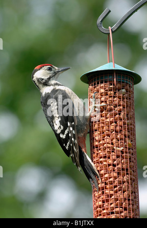 Juvenile great spotted woodpecker at a peanut feeder - Stock Photo