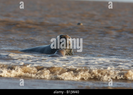 grey seal Halichoerus grypus Donna Nook England - Stock Photo