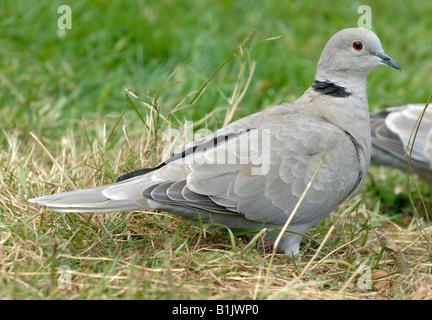Collared dove on grass Devon - Stock Photo