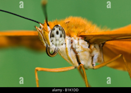 Close-up of Julia Butterfly - Stock Photo