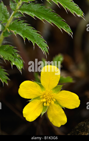 Silverweed Blossom and Leaf in Toft Point State Natural Area Door County Wisconsin - Stock Photo