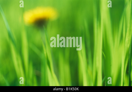 Impressionistic close up at ground level of lush backlit grass with distant flowerhead of Common dandelion - Stock Photo