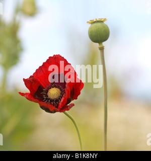 closeup of single oriental poppy and seedhead in field - 'papaver orientale' - Stock Photo