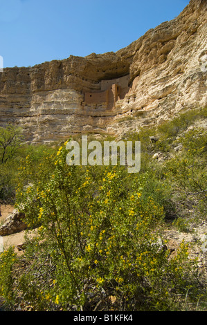 Saltbush at Montezuma s Castle National Monument where the Sinagua people lived in the cliff dwelling 1200 through - Stock Photo