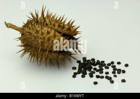 Thorn Apple (Datura stramonium), seed pod and seeds, studio picture - Stock Photo