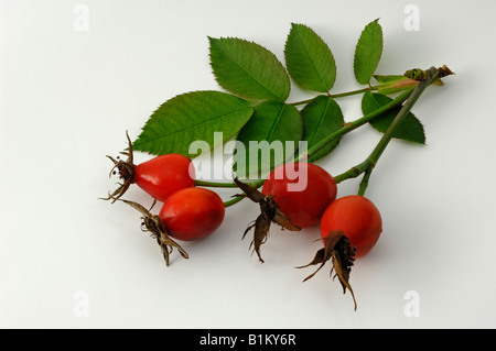 Dog Rose, Common Briar (Rosa canina variety V.Kiese), twig with leaves and rose hips, studio picture - Stock Photo