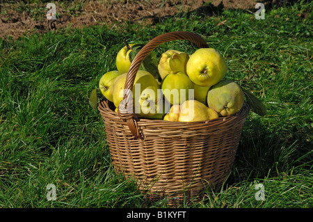 Quince (Cydonia oblonga var. pyriformi), fruit in a basket - Stock Photo