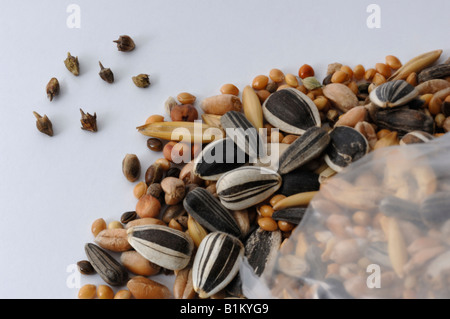 Annual Ragweed,  Common Ragweed (Ambrosia artemisiifolia) seeds found in bird food - Stock Photo