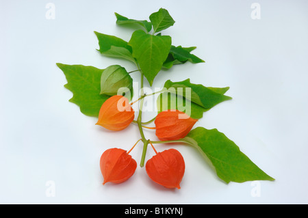Strawberry Tomato, Winter Cherry (Hypericum spec.), twig with fruit, studio picture - Stock Photo