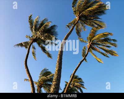 Palm trees against blue sky blowing in the wind in Maui Hawaii - Stock Photo