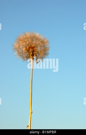dandelion over blue sky - Stock Photo