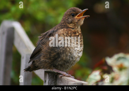 Thrush fledgling sat on the fence - Stock Photo