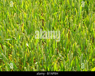 Young unripe Wheat close up UK - Stock Photo