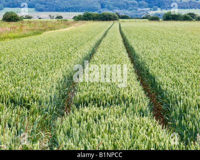 Tractor lines in a wheat field in late spring / early summer, farming UK - Stock Photo