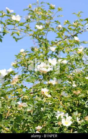 Dog Roses growing in a hedgerow. - Stock Photo