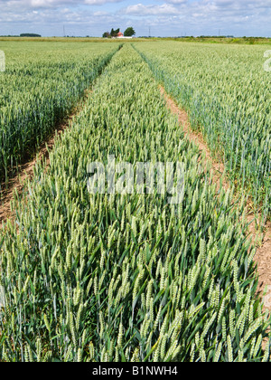 Tractor lines in a wheat field in late spring / early summer, England, UK - Stock Photo