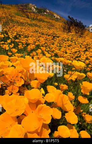 Wildflowers, in the burned hills of San Diego County from the 2007 Witch Creek Fire near Lake Hodges, California. - Stock Photo
