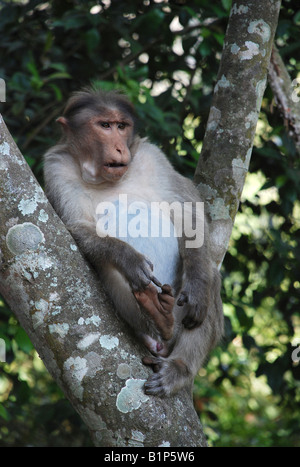 Bonnet monkey species Macaca Radiata in Periyar national park, India - Stock Photo