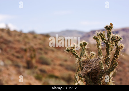 Bird nest in top of buckhorn cholla cactus (Opuntia acanthocarpa), with shallow depth of field - Stock Photo