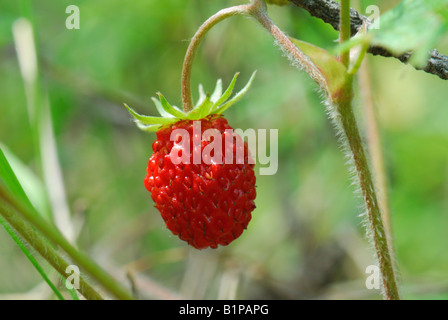 Close up of the wild strawberry - Stock Photo
