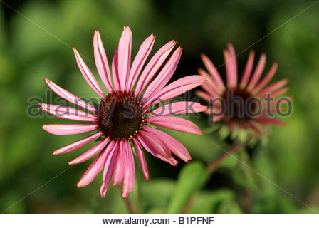 Echinacea purpurea also named Eastern purple coneflower - Stock Photo