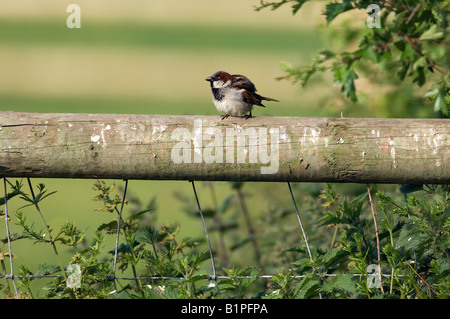 Male house sparrow (Passer domesticus) - Stock Photo