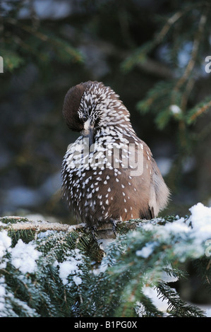 Spotted Nutcracker Nucifraga caryocatactes adult preening on Norway spruce ruffled by minus 15 Celsius Davos Switzerland - Stock Photo