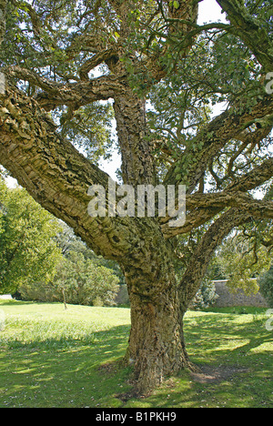Cork tree in the grounds of Arundel Castle in West Sussex - Stock Photo