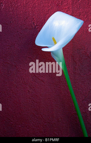 White Calla Lily against a red wall. - Stock Photo