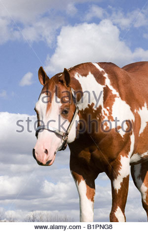 Sorrel and white three quarter portrait american paint horse - Stock Photo