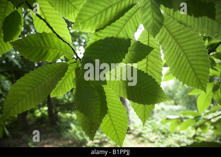 Castanea sativa sweet chestnut tree - sun shining through leaves suggestive of photosynthesis - Stock Photo