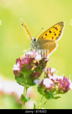 Small Copper Butterfly ( Lycaena phlaeas) on Marjoram - Stock Photo