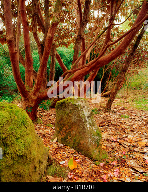 Lough Eske, Donegal Town, Co Donegal, Ireland, Ard na Mona, Stems Rhododendron Falconeri, Spring - Stock Photo