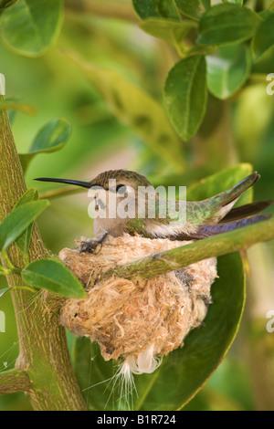 Anna s Hummingbird Calypte anna at a nest in Anza Borrego Desert State Park California - Stock Photo