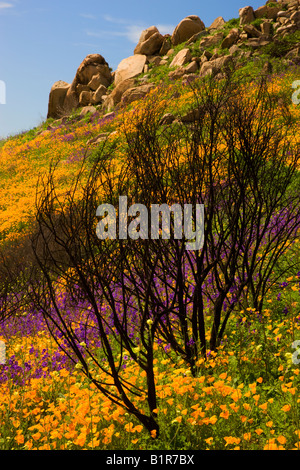 Wildflowers in a burn area near Lake Hodges California - Stock Photo