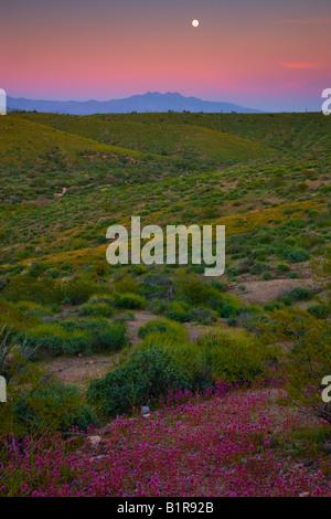 Desert wildflowers in McDowell Mountain Regional Park near Fountain Hills outside of Phoenix Arizona - Stock Photo