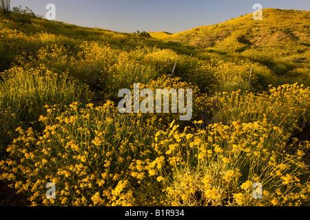 Brittlebush wildflowers in McDowell Mountain Regional Park near Fountain Hills outside of Phoenix Ariziona - Stock Photo