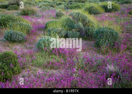 Purple Owl s Clover desert wildflowers in McDowell Mountain Regional Park near Fountain Hills outside of Phoenix - Stock Photo