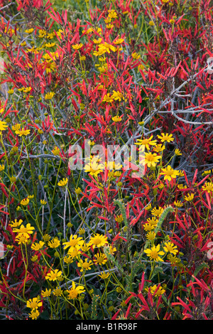 Brittlebush and chuparosa wildflowers in McDowell Mountain Regional Park near Fountain Hills outside of Phoenix - Stock Photo