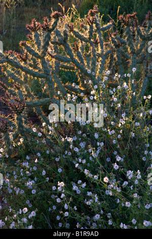 Desert wishbone bush wildflowers in McDowell Mountain Regional Park near Fountain Hills outside of Phoenix Arizona - Stock Photo