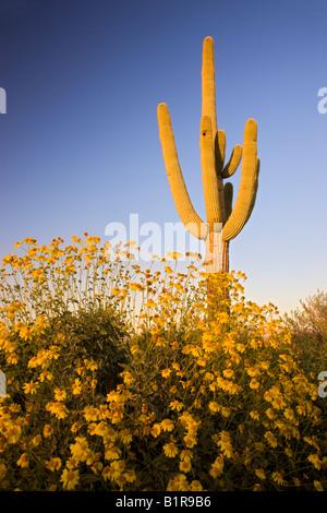 Saguaro cactus and brittlebush wildflowers in McDowell Mountain Regional Park near Fountain Hills Ariziona - Stock Photo