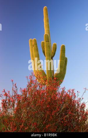 Saguaro cactus and chuparosa wildflowers in McDowell Mountain Regional Park near Fountain Hills outside of Phoenix - Stock Photo