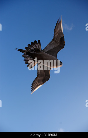 Arctic skua Stercorarius parasiticus Flight dark phase Scotland - Stock Photo