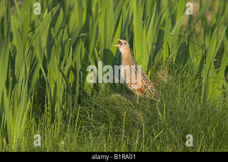 Corncrake Crex crex singing by Flag Iris on North Uist, Outer Hebrides, Scotland in May. - Stock Photo