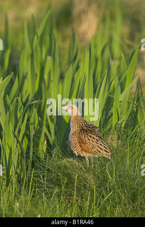 Corncrake Crex crex with ruffled feathers by Flag Iris on North Uist, Outer Hebrides, Scotland in May. - Stock Photo