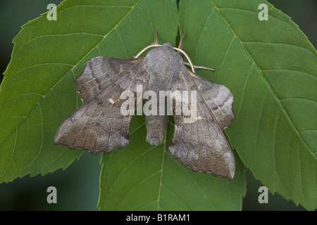 Poplar Hawkmoth Laothoe populi resting on leaves near Weston-Super-Mare in June. - Stock Photo