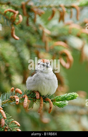 Chipping Sparrow perched in Spruce Tree - Vertical - Stock Photo