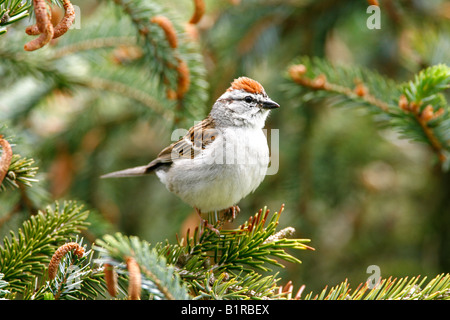 Chipping Sparrow perched in spruce tree - Stock Photo