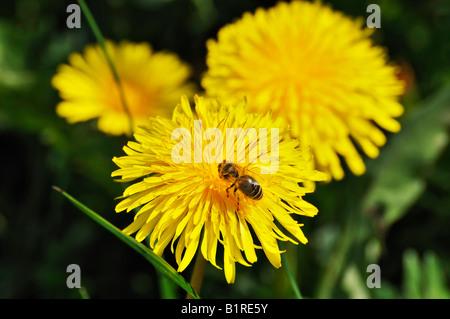 Dandelion (Taraxacum officinale) with Bee (Apis mellifera) - Stock Photo